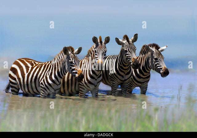 Boehm's zebra,  Grant's zebra (Equus quagga boehmi, Equus quagga granti), four zebras standing in water, - Stock Image