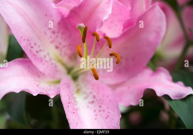 Lilium True Romance, pink Oriental lily flower - Stock-Bilder