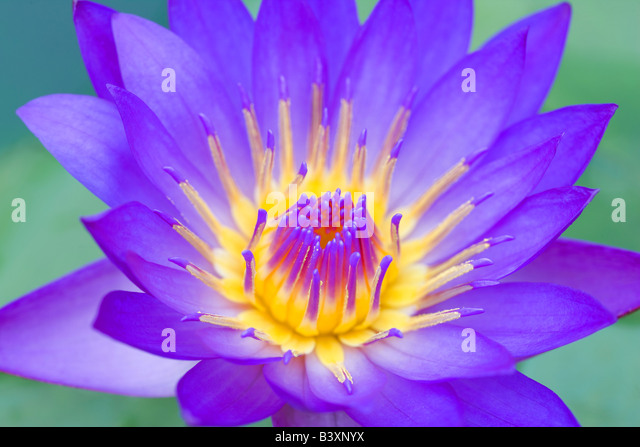 Panama Pacific MS tropical water lily Hughes Water Gardens Oregon - Stock Image