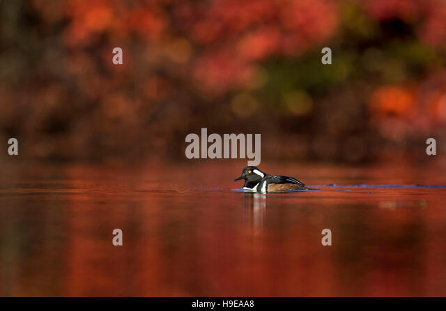 A male Hooded Merganser swims on a pond on a sunny morning with vivid red fall colors surrounding him. - Stock Image