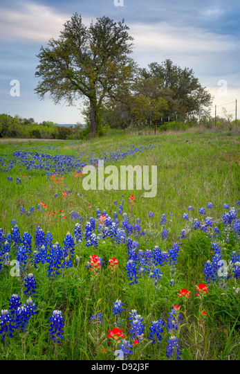Bluebonnets and paintbrush wildflowers near Llano in the Texas Hill Country - Stock-Bilder