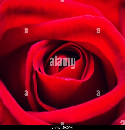 Close up of a beautiful red rose - Stock-Bilder
