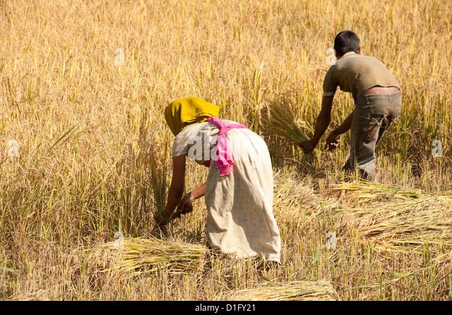 Young man and woman harvesting rice crop by hand using knives, near Rayagada, Orissa, India, Asia - Stock Image