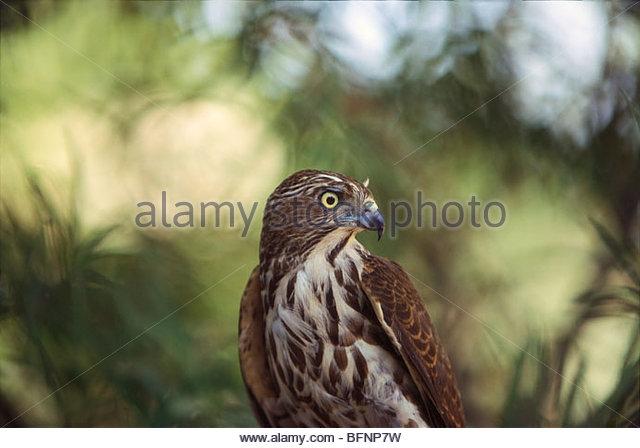 PSL 60226 : Birds ; Shikra accipiter badius - Stock Image