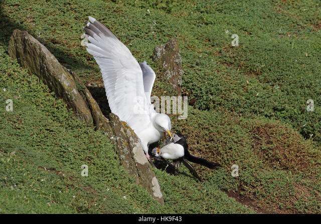 European Herring Gull (Larus argentatus) Adult - Summer plumage, attacking Atlantic Puffin (Fratercula artica) stealing - Stock-Bilder