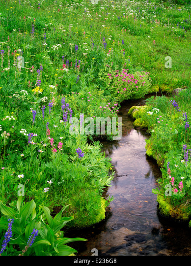 Small stream and wildflowers. Bird Creek meadows. Mt. Adams Wildernesss, Washington - Stock Image