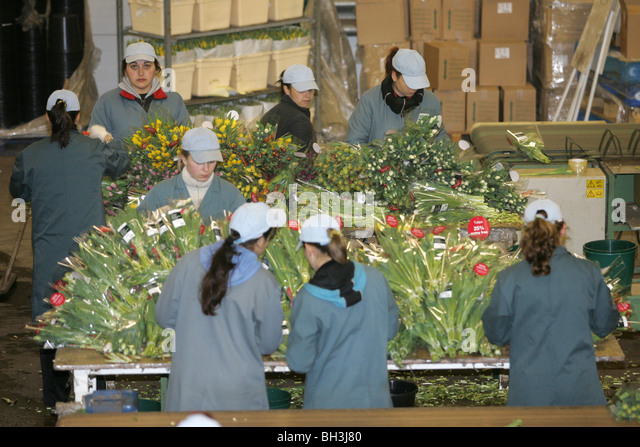 Foreign workers packing flowers - Stock Image