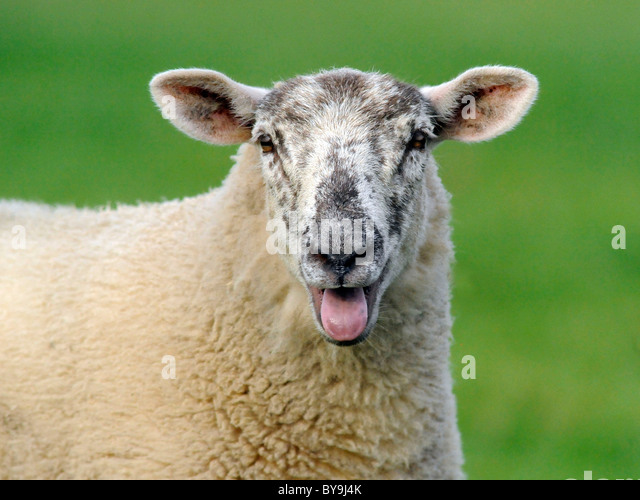 A sheep baaing making a baah sound. - Stock Image
