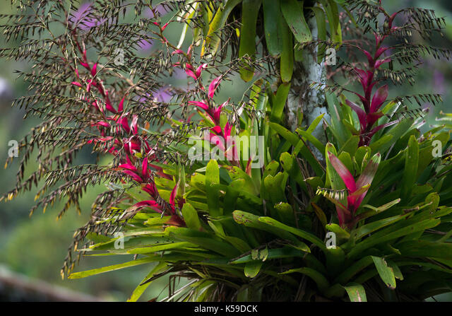 Flowering epiphytic bromeliads growing on a tree in the Atlantic Rainforest of SE Brazil - Stock Image