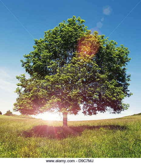 sun flare tree - Stock Image