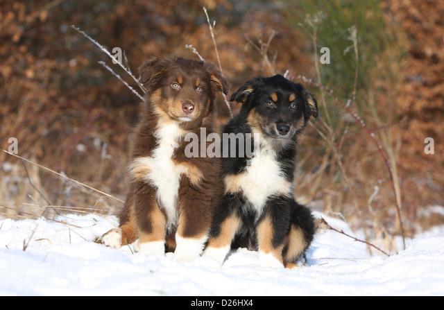 Miniature australian shepherd tri color puppy