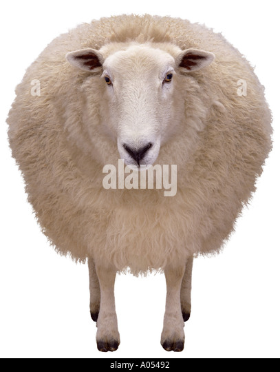 sheep - Stock Image