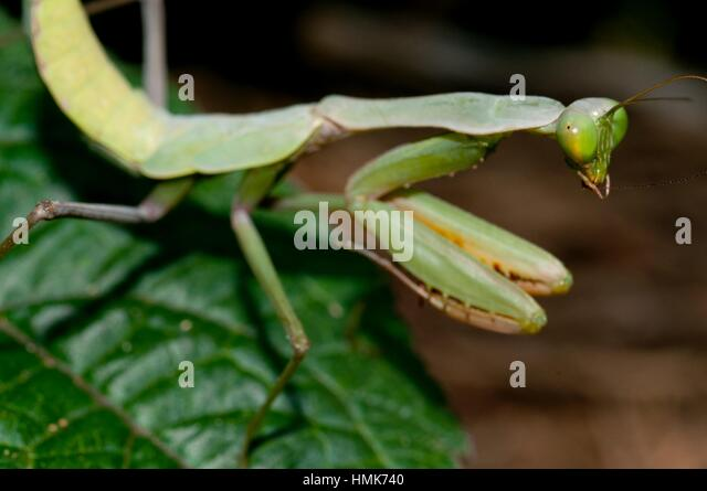 a description of the mantodea or praying mantids Toronto wildlife, mantids also known as european mantid - may be green or brown - native to europe - ootheca contains dozens to over 100.