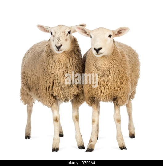 Two Sheep standing in front of white background - Stock Image
