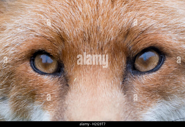 Fox Face Stock Photos & Fox Face Stock Images - Alamy