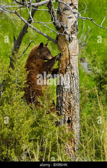 Cinnamon-colored Black Bear excavating cavity nest of woodpeckers (Northern Flicker). - Stock Image