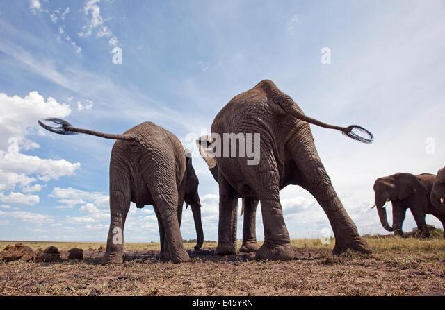 African elephants (Loxodonta africana) rear view, drinking at a water hole, Masai Mara National Reserve, Kenya. - Stock Image