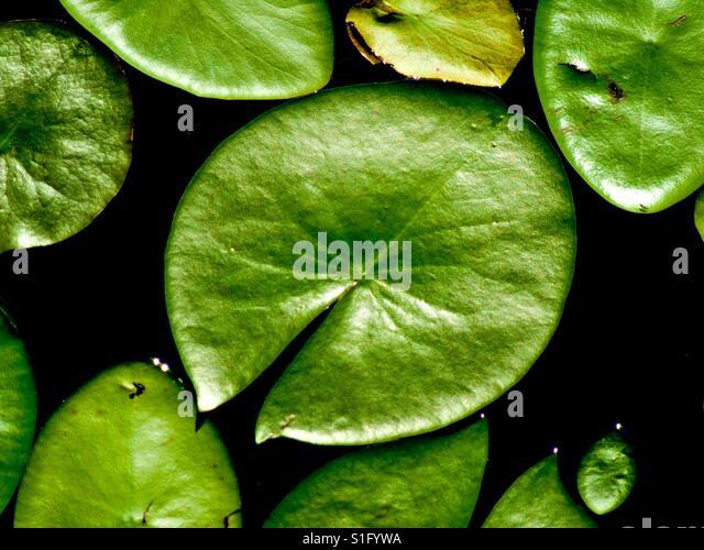 Water Lillies_1 - Stock-Bilder