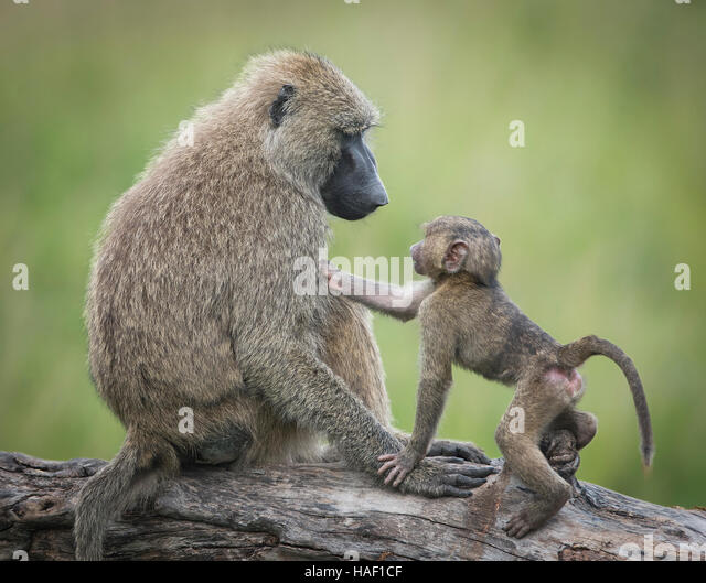 Olive Baboon, mother and baby staring into each others eyes, Serengeti National Park - Stock Image
