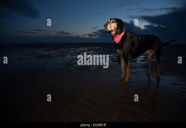 Black and Tan Coonhound on beach - Stock Image