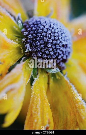Helenium, Helen's flower, Sneezeweed - Stock Image