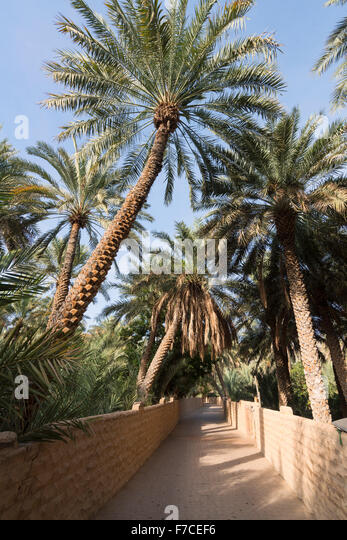 Date palm tees at Oasis in Al Ain United Arab Emirates. UNESCO World Heritage Site - Stock Image