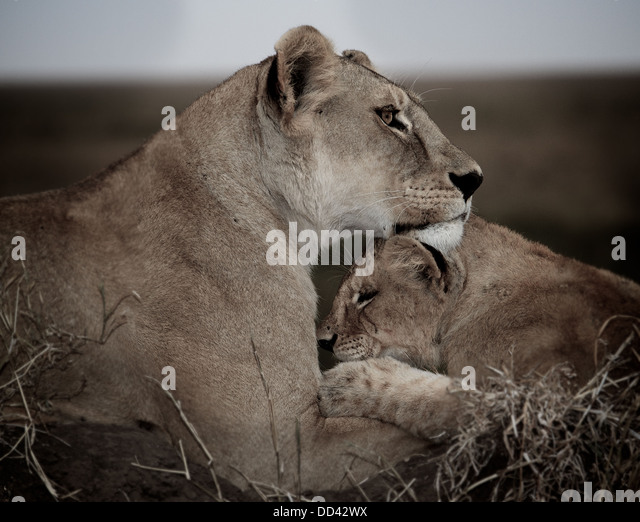 Lion mother and cub. Serengeti. Tanzania Panthera leo - Stock Image