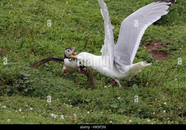 European Herring Gull (Larus argentatus) adult summer plumage, attacking Atlantic Puffin (Fratercula artica) stealing - Stock-Bilder