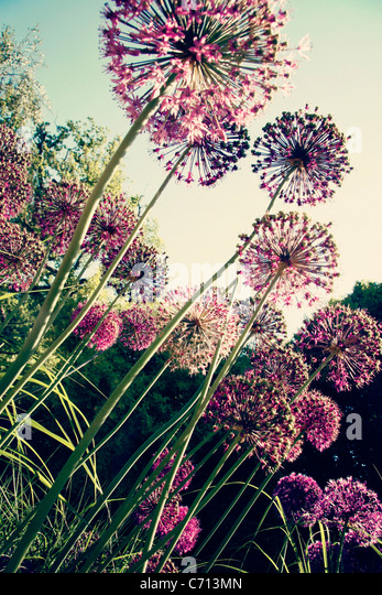 Ornamental onion, Allium, Purple spherical flower heads on long stems. - Stock Image