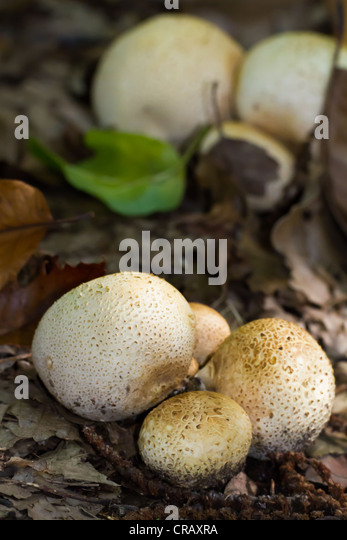 Small white pufball mushrooms push through dead leaves in woodland - Stock Image