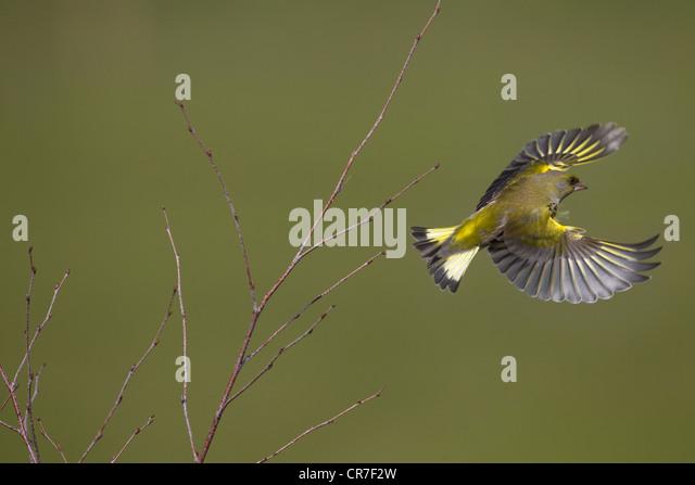 Greenfinch Carduelis chloris in flight from birch scrub - Stock Image