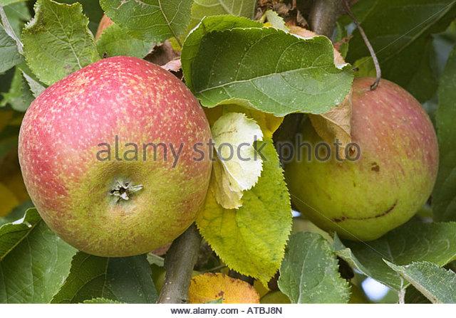 boskoop apples stock photos boskoop apples stock images. Black Bedroom Furniture Sets. Home Design Ideas