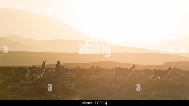 Llamas at dusk, Villa Alota, Southern Altiplano, Bolivia - Stock Image