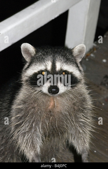 A raccoon out for food at night time - Stock Image