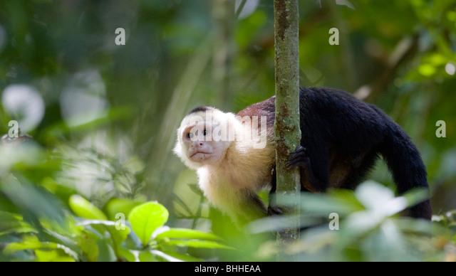 White-faced capuchin in the rain forest, Costa Rica. - Stock Image