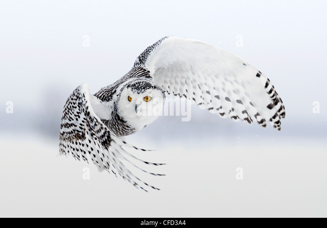 Snowy Owl in flight, Ottawa, Canada - Stock Image