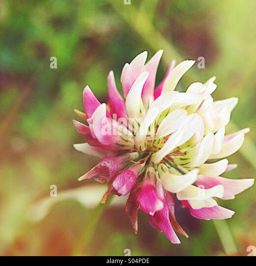 Purple clover - Stock Image