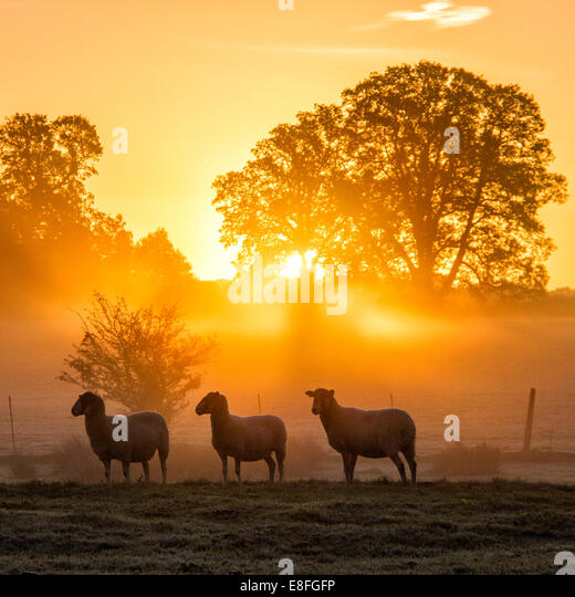 Sheep standing in field at sunset, Berkshire, England, UK - Stock Image
