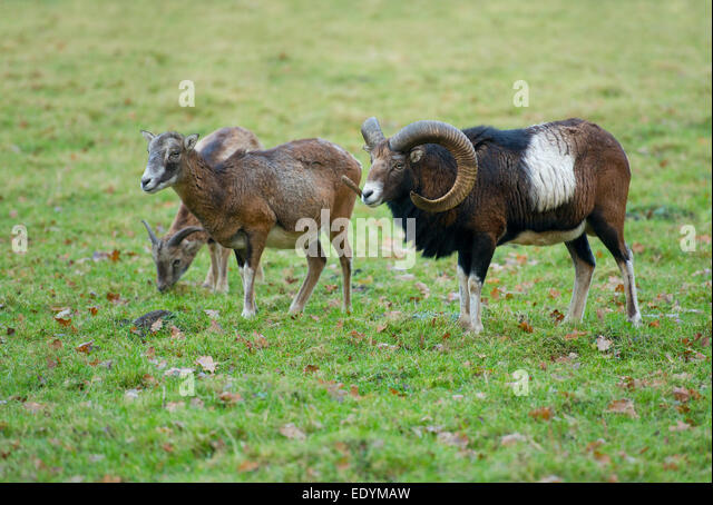 Mouflons (Ovis ammon musimon), adult females and a mature ram, captive, Lower Saxony, Germany - Stock Image