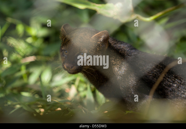 Injured Jaguarundi (Puma yagouaroundi syn. Herpailurus yagouaroundi) at Las Pumas Animal Rescue Center in Cañas, - Stock Image