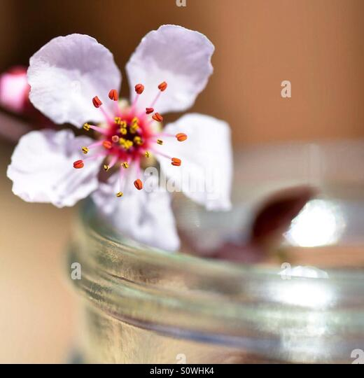 Blossom in a jar - Stock Image