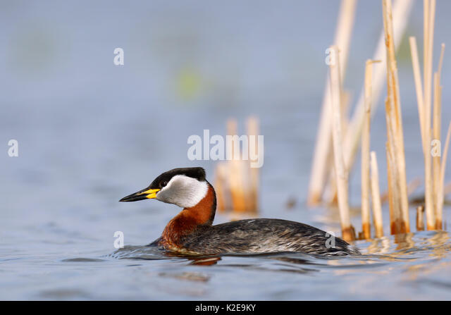 Red necked grebe (Podiceps grisegena), swimming in the water, nature river area Peene Valley, Mecklenburg-Western - Stock Image