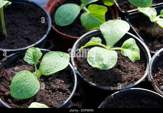 Red kuri squash seedlings transplanted into larger pots. - Stock Image