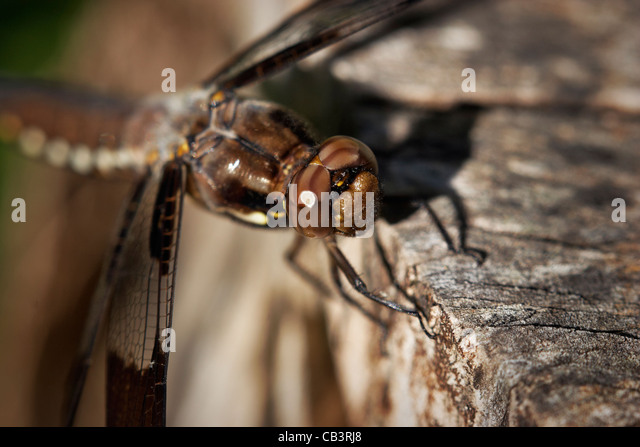 A female whitetail dragonfly, Libellula lydia. - Stock Image