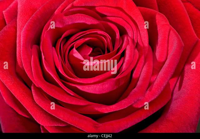 Red rose close-up as romantic flower - Stock-Bilder