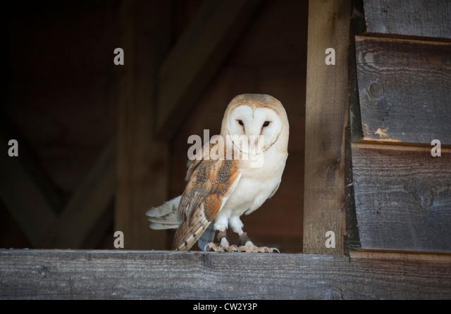 pet owl stock photos pet owl stock images alamy. Black Bedroom Furniture Sets. Home Design Ideas