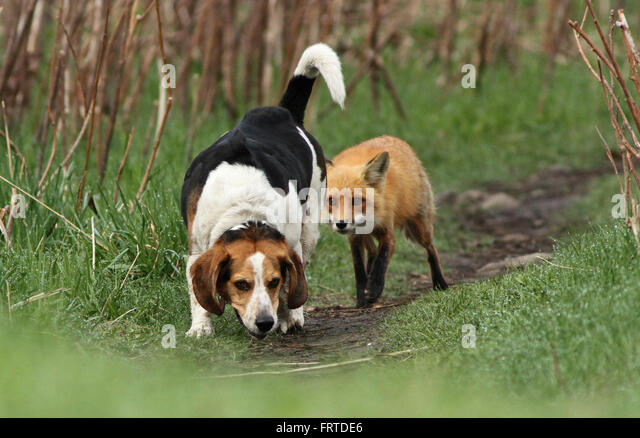 Beagle hunting fox - photo#7