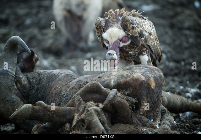Vulture and carcass Mikumi National Park . Southern Tanzania. Africa - Stock Image