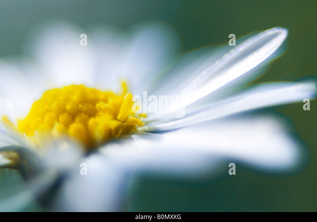 aster asteraceae daisy flower - Stock Image