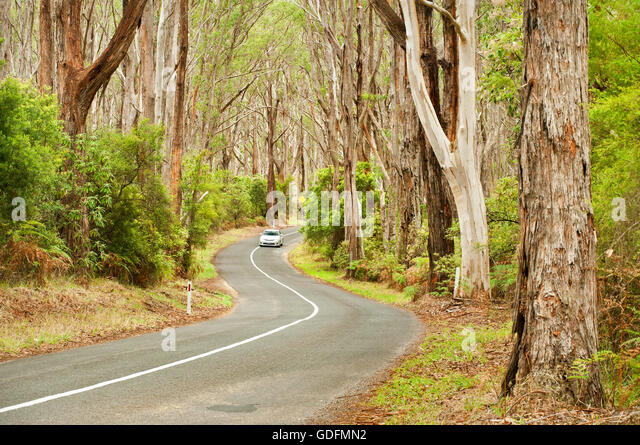 Car on a road through ancient eucalyptus forest. - Stock Image